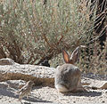 Desert cottontail back.jpg