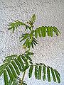 Desmanthus illinoensis flowering in Poland z6b.JPG