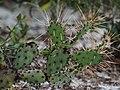 Devil's Tongue Prickly Pear Cactus - Opuntia austrina, Lake June-in-Winter Scrub State Park, Lake Placid, Florida (24726813887).jpg