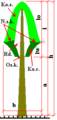 Diagram conifereae tree.png