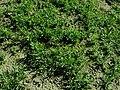 Dianthus deltoides 2019-09-22 4481.jpg