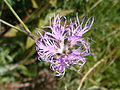 Dianthus superbus fraichement éclos.JPG
