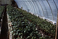 Dicksons Florist greenhouse beds 05.jpg
