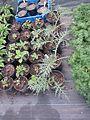 Digitalis thapsi, Cynara baetica maroccana ^ Geranium malviflorum - Flickr - peganum.jpg
