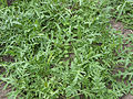 Diplotaxis tenuifolia plants, wilde rucola planten.jpg