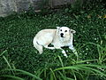 Dog, white, Sisian.JPG