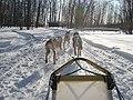 Dog Sled team (6455055063).jpg