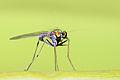 Dolicopodidae.jpg