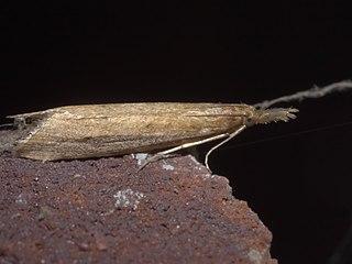 <i>Donacaula</i> Genus of moths