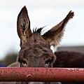 Donkey ears (3990778114).jpg