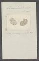 Doris obvelata - - Print - Iconographia Zoologica - Special Collections University of Amsterdam - UBAINV0274 080 21 0009.tif