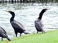 Double-crested and Neotropic Cormorants (Phalacrocorax auritus and brasilianus) (8593523346).jpg