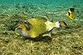 Drückerfisch. Giant Titan Triggerfish.Гигантский титановый Триггер..DSCF8745WI.jpg
