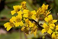 Draba mogollonensis - Flickr - aspidoscelis (2).jpg