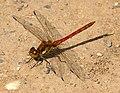 Dragonfly Common Darter 3 (6059381322).jpg