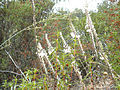 Drimia maritima Inflorescencias 2010-10-03 SierraMadrona.jpg