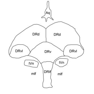 Dorsal raphe nucleus - Outline of the nucleus raphes dorsalis: DRif interfascicular subnucleus, DRv ventral subnucleus, DRvl ventrolateral subnucleus, DRd dorsal subnucleus, mlf medial longitudinal fasciculus, Aq cerebral aqueduct, IVn trochlear nucleus.