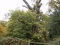 Druids Oak Burnham Beeches.JPG