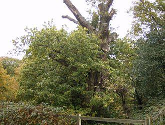 Burnham Beeches - Druids Oak, the oldest tree in Burnham Beeches
