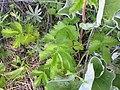 Drymocallis glandulosa (5091441148).jpg