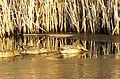 Ducks on Mary Lake (12368100863).jpg