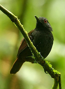 Dull-mantled Antbird.jpg