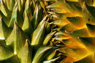 320px-Durian_with_sharp_thorns