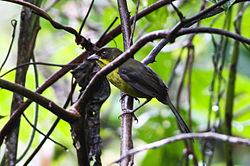 Dusky-headed Brush-finch (8079919489).jpg