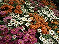 Dwarf Zinnia from Lalbagh flower show Aug 2013 8248.JPG