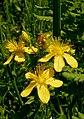 Dziurawiec zwyczajny (Hypericum perforatum L.) 02.jpg