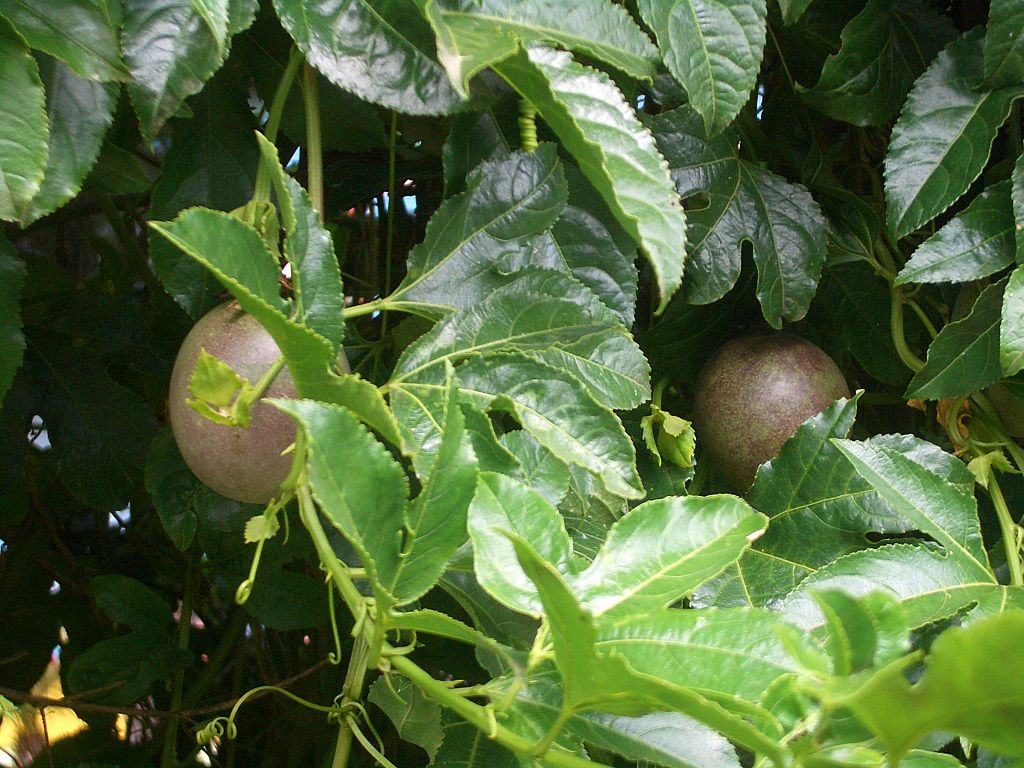 File E0200 Stratford passion fruit on the vine