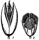 EB1911 Fruit - capsule of Colchicum autumnale.jpg