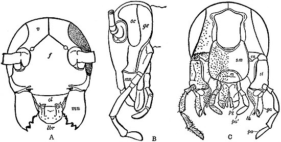EB1911 Hexapoda - Head and Jaws of Cockroach.jpg