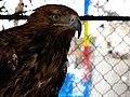 Eagle عقاب 15.jpg