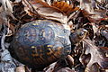 Eastern Box Turtle at James River State Park (7009256447).jpg