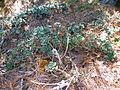 Echeveria aff. montana (5739681511).jpg