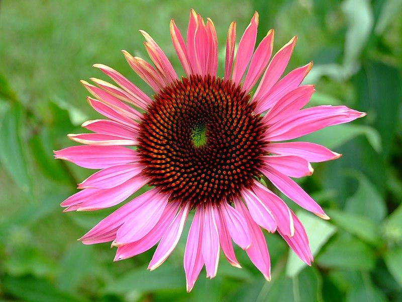 Soubor:Echinacea 2007.JPG
