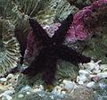 Echinaster echinophorus.jpg