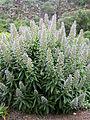 Echium acanthocarpum kz2.JPG