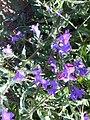 Echium plantagineum1.jpg
