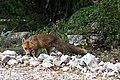 Een vos op de inrit mooi - une renard sur l'allée - panoramio.jpg