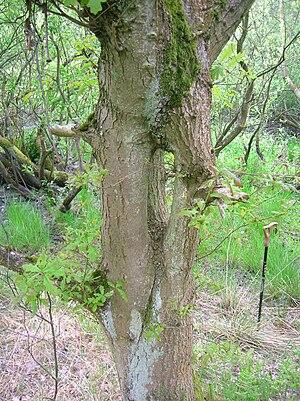 Quercus petraea - An inosculated tree