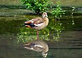 Egyptian Goose, KwaMakhutha, Durban (31393294803).jpg