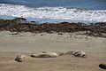 Elephant seals, Piedras Blancas 03.jpg