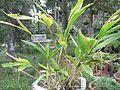 Elettaria cardamomum-BSI-1-yercaud-salem-India.JPG