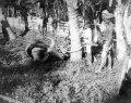 En kullkastad buffel som fastbindes för att skäktas - SMVK - 000328.tif