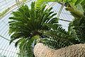 Encephalartos altensteinii-IMG 5441.jpg