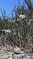 Endangered salt marsh bird's beak in Orange County (34120442446).jpg
