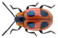 Endomychus coccineus (Linné, 1758) (30196994326).png