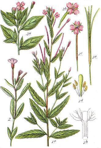 Epilobium - Top left: Epilobium alsinifolium (chickweed willowherb) Bottom left: Epilobium anagallidifolium (alpine willowherb) Center: Epilobium tetragonum (square-stemmed willowherb)